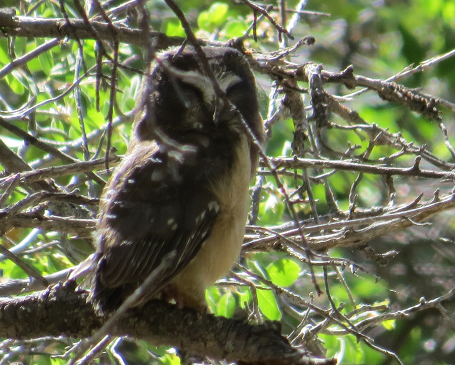 Fledgling Saw-Whet